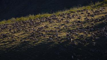 Amerikanske olieselskaber har i fire årtier søgt at få åbnet dele Arctic National Wildlife Refuge i Alaska for olie- og gasudvinding. Med Trumps skattereform ser det nu ud til at lykkes. Naturreservatet er blandt andet hjemsted for rensdyr, ulve og isbjørne.