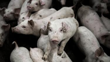 Med veterinærforliget bliver svineproducenterne ikke længere påkrævet at skulle have ekstra dyrlægebesøg, hvis de flokbehandler svin med antibiotikamedicin.