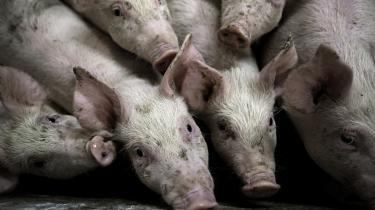 Når grise tygger på hinandens haler, skyldes det, at de er blevet fjernet fra deres mor, før de var færdige med at die. Vil man forbyde halekupering, bliver man derfor også nødt til at gøre noget ved det system, der ønsker at producere grise i en buldrende høj hastighed