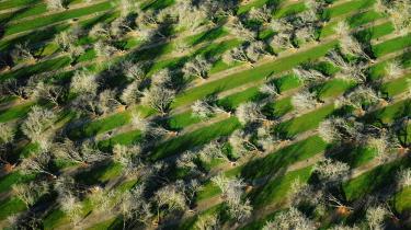 Markerunder mandeltræerne flere steder i Califoniener sunket med op til en halv meter over få år, i takt med at grundvandsmagasinerne tømmes, skriver dagens klummeskribent. Her på billedet ses mandeltræer, der er blevet væltet af heftig vind og regnvejr, hvormed afgrøderne også er tabt.