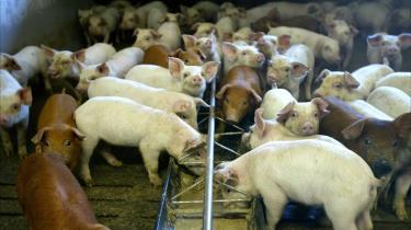 Det vurderes, at MRSA findes i op til 90 procent af de danske svinebestande. Selvom man endnu ikke kender til alle smitteforhold ved husdyr-MRSA, ved man, at bakterien blandt andet sætter sig i landbrugsarbejdernes tøj og på huden. Derfor er det vigtigt, at personer, der arbejder med svin, opretholder en høj hygiejnestandard