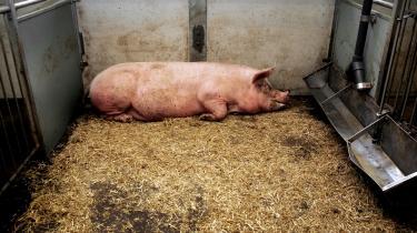 Det gør en vis forskel, om man skal have fasciliteter til smågrise eller til store dyr på op til 300 kilo, og DTU kommer til at betale dyrt for oprindeligt at ville have opført stalde til grise – uanset om fejlen var deres eller Fødevarestyrelsen.