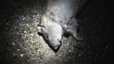 Mindre nydelig mand og mere frådende rotte. Lasse Lavrsens erindringsbog om skilsmisse og rotteangreb peger på rotters måske eneste fortrin: De er ikke forfængelige