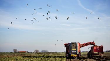 En rødbedehøster kører over en mark i Flandern. I den nordlige egn i Belgien er der begyndt at opstå en masse lokale, økologiske landbrug.