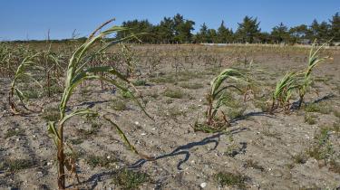 Tørken har ramt Danmark denne sommer, og især landbruget står for skud. Her erdet en døendemajsmark i Nordjylland.