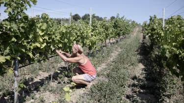 Line Barfoedfjerner de lavthængende blade, så hendes druer kan få mest mulig sol og undgå fugt fra blade tæt på druerne.
