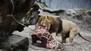Debatten mellem kødspisere og vegetarer er ikke noget nyt fænomen. I hvert fald ikke når man anskuer den som et spørgsmål om, hvilket natursyn man hælder imod. Netop natursynet har løbende været til debat – forklædt som sager om publikumsfodring af dyrene i ZOO. Eksempelvis sagen om giraffen Marius, der blev aflivet, skriver Bengt Holst.