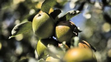 Den danske æblekultur går tilbage til 1100-tallet. Men i dag kan man kun få ganske få sorter i butikkerne. De har det tilfælles, at de er langtidsholdbare, røde, søde og fuldstændig uden historie. Det siger Per Kølster, der er æbleentusiast, ølbrygger og formand for Økologisk Landsforening