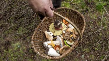 Der er ingen tommelfingerregler, når det kommer til svampe. Det er det, der gør dem så fascinerende. Sådan siger biolog, fotograf og svampebogsforfatter Jens H. Petersen, der sammen med sine kolleger opdager 50-60 nye svampearter i Danmark hvert år