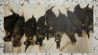 Jakob Kudsk Steensen har lavet et kæmpestort researcharbejde for at lave denne vilde film, der handler om fuglearten Kaua'i ʻōʻō, der uddøde i 1987 – samme år, som Kudsk Steensen blev født. Artens parringskald blev optaget, inden den sidste fugl døde, og ligger nu tilgængeligt på YouTube