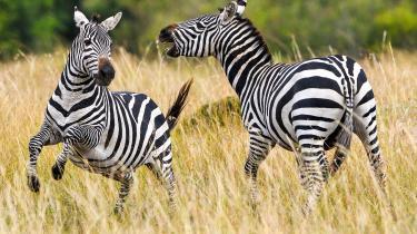 Kunsteren Kasper Hesselbjerg har fået fremstillet en pølse, der foruden rådyr, dådyr og smådyr blandt andet indeholder zebrakød.