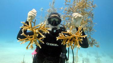 En medarbejder hos Coral Restoration Foundation viser unge, kunstigt fremavlede koraller frem i en 'børnehave' uden for Key Largo, Florida. Flere organisationer arbejder hårdt på at modarbejde nedbrydningen af verdens koralrev.