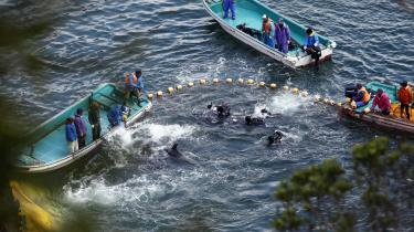 Fiskere jager delfiner i Taiji i det vestlige Japan.