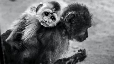 Måske er det ikke aben, der skal lære os noget; måske skal er det gennem os selv, at vi skal forstå vores meningen med vores tidligere inkarnationer.