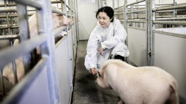 Den kinesiske forsker Lin Link har de seneste år viet sin akademiske karriere til at gøre de firbenede husdyr til organdonorer.