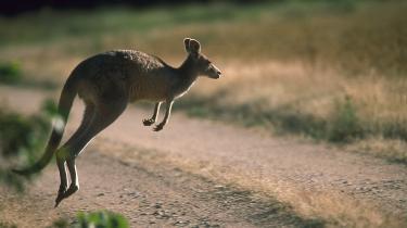 I Jylland er der blevet stjålet fem kænguruer i løbet af en måned, fordelt på to kængurukup.