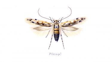 Antallet af insekter falder. Derfor fortæller entomologer, biologer og entusiaster i løbet af sommeren om deres yndlingsinsekter. Mens de stadig kan findes i naturen. Ole Karsholt er tidligere medarbejder ved sommerfuglesamlingen på Zoologisk Museum i København, og hans yndlingsinsekt er milemøl