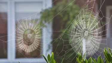 Edderkopperer ofte jaget ud af de danske hjem, men i virkeligheden er denyttedyr, der æder irriterende fluer.