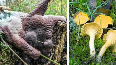 For mange mennesker er årsagen til at interessere sig for svampe udelukkende deres kulinariske potentiale. Men det er et meget begrænset syn at have på disse skovens vidundere. Det laver vi om på med disse tre guidede ture. På billedet ses svampedyret Kæmpeklat og Almindelig kantarel.