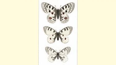 Forskellige variationer af Mnemosyne-sommerfuglen.