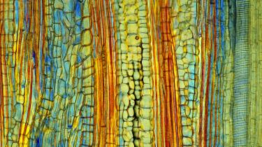 Philip Goff er tilbøjelig til at mene, at planter, eller i det mindste cellerne – som her cellevæv i en bananstilk – har en form for bevidsthed. Det betyder dog ikke, at alt i universet har en bevidsthed, som vi normalt forstår det, understreger han.
