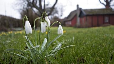 »Vintergækkerne står endnu, men visner meget hurtigt, hvis man plukker dem og tager dem med ind.« skriver Karen Syberg i denne kommentar om planternes tidlige komme i det varme vintervejr.