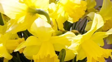 Påskeliljerne blomstrer, der er knopper i tulipanerne, og de to ribsbuske med henholdsvis lyse- og mørkerøde blomsterranker er sprunget ud. Men noget er galt. Ribesbuskene plejer at summe af bier, skriver Karen Syberg.