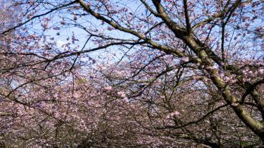 Kirsebærtræerne på Bispebjerg Kirkegård er ved at springe ud, men den rituelle massedokumentering af kirsebærtræernes blomstring er aflyst, og i år bliver hele området afspærret. Københavns Kommune opfordrer i stedet folk til at lægge deres billeder fra sidste år op på de sociale medier og bruge hashtagget: #hjemmesakura eller #stopcorona.