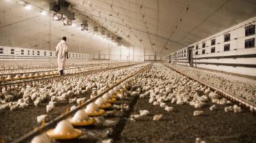 Den hurtigtvokende industrikylling kan vokse fra nyklækket kylling til godt to kilo på kun fem uger.