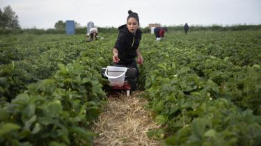 Det er længe siden, danskerne gad plukke jordbær på Samsø. Så nu kommer de rejsende fra hele Europa for at arbejde.