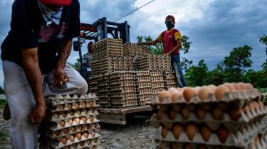 Ansatte på en kyllingefarm i udkanten af Blang Bintang i Indonesien.