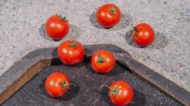 I Holland bliver der produceret massevis af tomater i kæmpestore effektiviserede drivhuse.