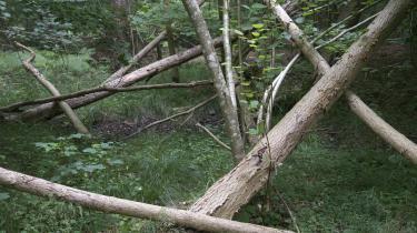 Hvis ideen om urørt skov skulle give fuld mening, burde jeg selv holde mig på stierne, skriver Christian Yde Frostholm i anmeldelsen af Draved Skov.