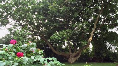 Karen Sybergs valnøddetræ bærer ikke lige godt hvert år, men de år, hvor det virkelig bærer, leverer det til gengæld nødder nok til, at de har til flere år frem i tiden.