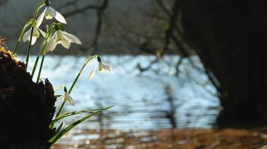 Vintergækker 'Galanthus nivalis', der hedder Snowdrop på engelsk.