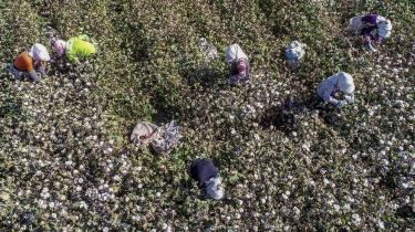 Kinesiske arbejdere plukker bomuld i Xinjiang. Mange vestlige virksomheder, der aftager bomuld høstet af tvangsarbejdere i Xinjiang, er fanget i et penibelt dilemma. Hvis de fortsætter med at købe bomuld i Xinjiang, bliver de straffet af en forbrugerboykot på vestlige markeder; hvis de stopper, risikerer de at miste adgang til det store kinesiske forbrugermarked.