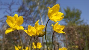 Vi nærmer os slutningen på forårsblomstringen og begyndelsen af sommerblomstringen, og nu kommer påskeliljerne.