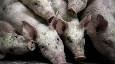 Med den grisetæthed vi har i Danmark er det overvejende sandsynligt, at vi ikke vil kunne isolere humanpatogene stammer fra grisene. De vil sprede sig massivt og måske endnu mere voldsomt end hos minkene.