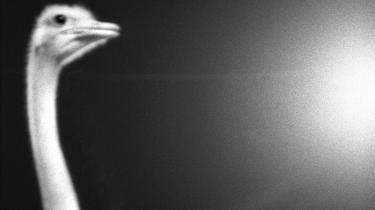 Det er en myte, at strudsen stikker hovedet i sandet. Men måske gør vi mennesker det. I bogen 'The Ostrich Paradox' gennemgår psykologiprofessor Robert Meyer psykologihistoriens forskning i det forhold, at vi er overraskende dårlige til at være beredte på katastrofer.