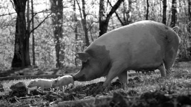 Grisen Gunda er instruktør Victor Kossakovskys Meryl Streep i den usædvanlige dokumentarfilm'Gunda', der skal få ostil at tænke over det med dyr og kød og mad.