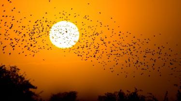 »Den gængse forklaring på, at stærene færdes i kæmpeflokke, er vist netop, at det gør det svært for en rovfugl at angribe. At fuglemængden i luften virker ligesom en sildestime i havet, og de bevæger sig også på samme måde.« skriver Karen Syberg.