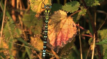 Nu er det insekternes og ikke mindst spindlernes tid. I luften ovenover er der i de seneste uger begyndt at komme flere og flere store, glitrende mosaikguldsmede, skriver Karen Syberg. På billedet suger en blå mosaikguldsmed varme til sig.