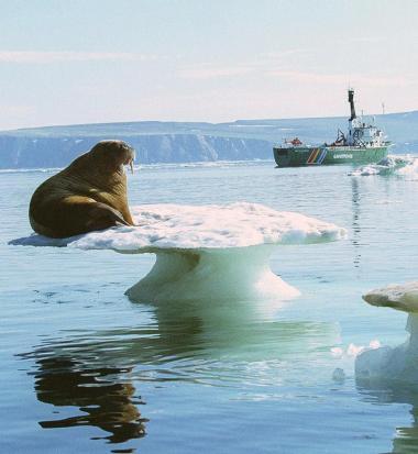 I 2100 kan Nordpolen være helt isfri. Det kan ændre forholdene dramatisk for de lokale dyr.