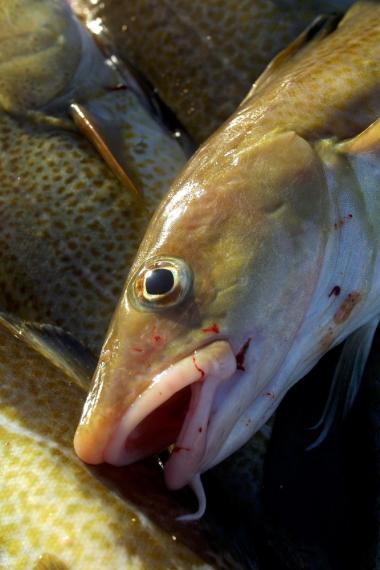 Der findes retningslinjer for slagtning af langt de fleste dyr, men ikke for fisk.