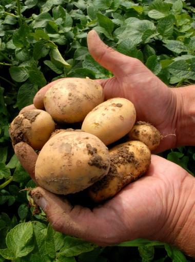 I 2010 ville Danmark forbyde den genmodificerede Amflora-kartoffel. Det kunne dog ikke lade sig gøre på grund af EU-retten, vurderede Miljøministeriets jurister.