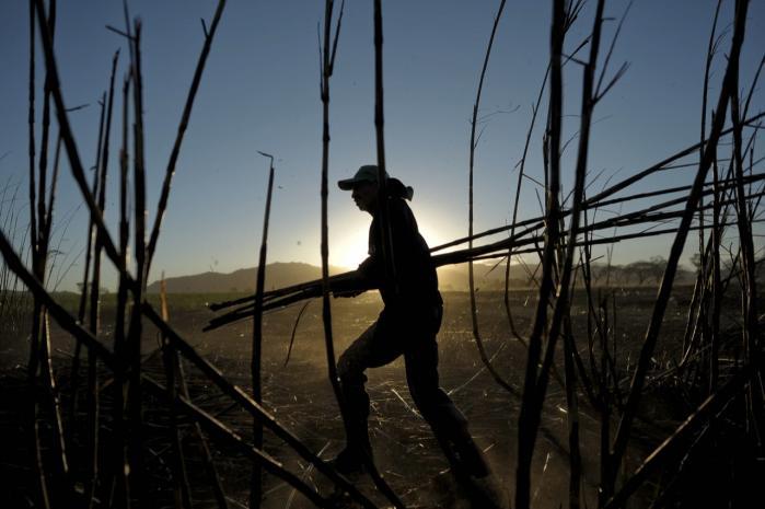 Jay Keasling og hans kolleger mener, det er muligt at erstatte 30 procent af verdens transportbrændstof med syntetisk brændsel. Det sker ved at manipulere E. coli-bakterier og lade dem optage sukker. Og sukker er en vedvarende ressource. Her høstes sukkerrør i en plantage i El Salvador.