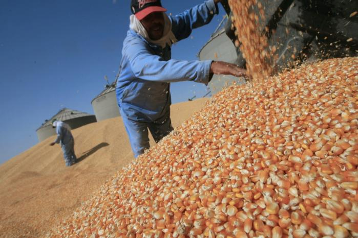 Der er afsat 46 mio. dollar til testforsøg med nye genmodifi-cerede majssorter, der kan klare sig næsten uden vand, på markerne i Tanzania, Kenya og Mozambique. Billedet her er fra Egypten, hvor man tillader kommerciel dyrkning af GMO-afgrøder.