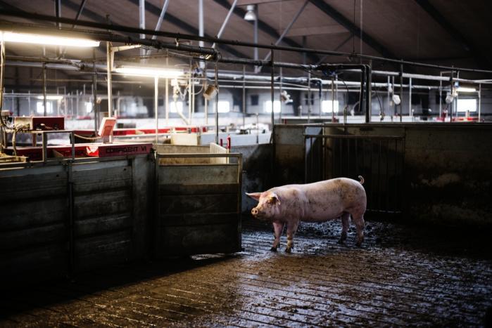 For blot fem år siden var der kun få pakker svinekød, der var inficeret med MRSA-bakterien, men også den andel er steget markant, tyder en ny undersøgelse på