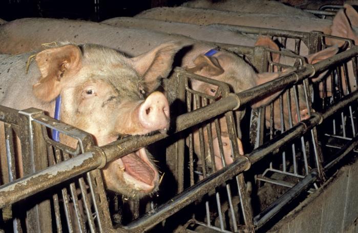 Overforbruget af antibiotika i det industrialiserede landbrug afstedkommer en stærkt øget udbredelse af superresistente bakterier – herunder især den frygtede og smitsomme MRSA CC398 stafylokok, som allerede har kostet flere danskere livet.
