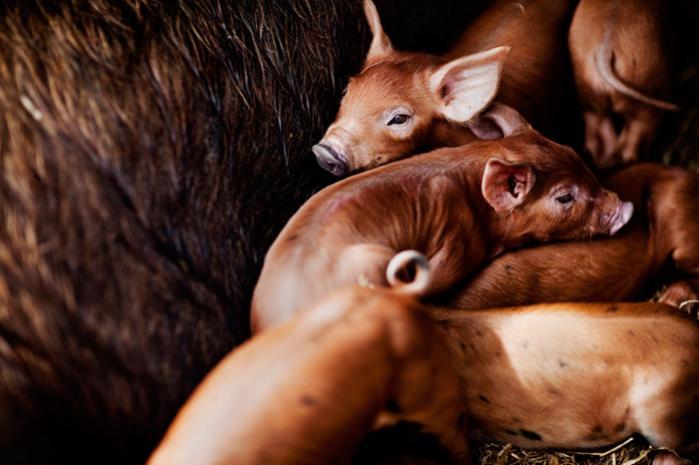 I dag producerer dansk landbrug årligt næsten 19 millioner slagtesvin. I Danmarks Naturfredningsforenings vision for økologisk landbrug vil den produktion falde til godt en tredjedel, nemlig til knap seks millioner slagtesvin årligt